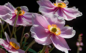 Картинка макро, лепестки, розовые, Анемоны