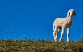 Картинка трава, синева, поляна, весна, малыш, белая, барашек, овечка, голубое небо, овца, ягненок, ягнёнок