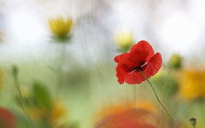 Картинка цветок, лето, цветы, красный, фон, мак, размытие, желтые, алый, боке, размытый