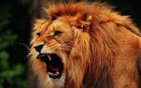 Картинка морда, лев, грива, клыки, паст