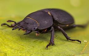 Картинка природа, насекомое, Dorcus parallelipipedus