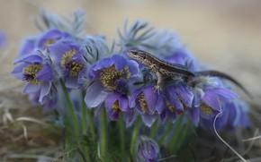 Картинка цветы, природа, ящерица, первоцветы, сон-трава, прострел, Евгения Левина