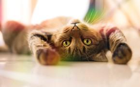Картинка кошка, кот, взгляд, поза, серый, лапы, лежит, светлый фон, полосатый