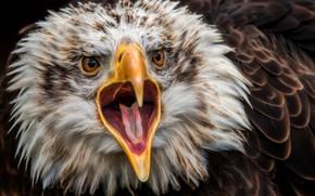 Обои орел, хищник, клюв