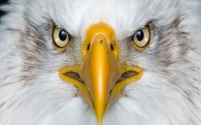 Картинка bird, macro, fly, eagle, animal