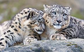 Картинка взгляд, кошки, камень, нежность, дружба, ласка, снежный барс, дикие кошки, дуэт, отношения, зоопарк, барсы