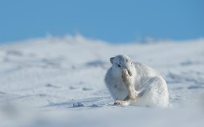 Картинка поза, беляк, сугробы, небо, снег, зайчик, зима, морда, заяц, поле, голубое, сидит, лапы