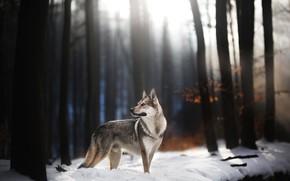 Картинка зима, лес, взгляд, свет, снег, деревья, ветки, природа, темный фон, стволы, волк, собака, поздняя осень, ...