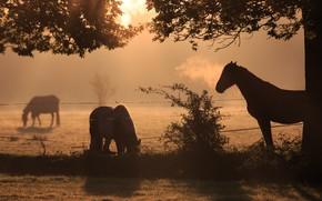 Картинка поле, свет, ветки, природа, туман, конь, рассвет, лошадь, кони, утро, лошади, пастбище, ограждение, пони, силуэты, …