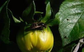 Картинка цветок, оса, насекомое, георгина