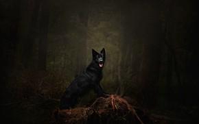 Картинка лес, язык, деревья, ветки, поза, темнота, темный фон, заросли, собака, черная, коряга, прогулка, стоит, немецкая …