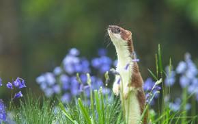 Картинка лето, трава, цветы, природа, фон, мордочка, стойка, боке, куница