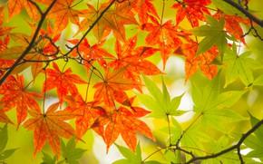 Обои осень, листья, дерево, colorful, клен, autumn, leaves, maple