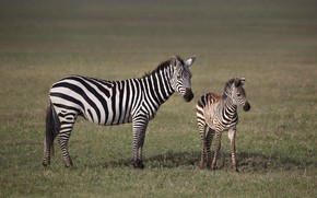Картинка природа, две, малыш, зебра, пара, саванна, Африка, детеныш, мама, зебры, две зебры, зебренок