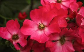 Картинка цветы, шиповник, розовые