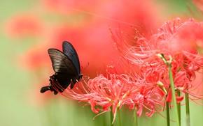 Картинка макро, цветы, бабочка, лилия, размытие, красные, черная, насекомое, зеленый фон, пауковая лилия, пауковая