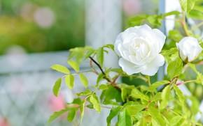 Картинка цветок, листья, сетка, роза, сад, бутон, окно, белая, светлый фон, боке, розовый куст