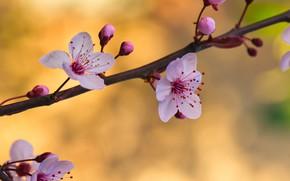 Картинка цветы, фон, ветка, весна, бутоны