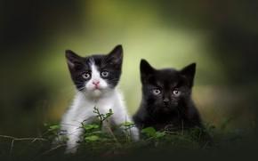 Картинка трава, взгляд, кошки, природа, поза, котята, парочка, дуэт, два, два котенка, мордашки