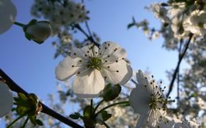 Картинка небо, макро, вишня, Беларусь, вишня в цвету, моё фото