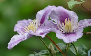 Картинка цветок, лето, макро, цветение, клематис