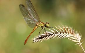 Обои фон, стрекоза, насекомое, травинка