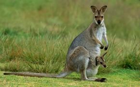Картинка Австралия, кенгуру, детеныш, сумчатое