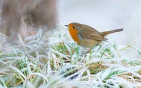 Картинка зима, иней, трава, снег, фон, птица, птичка, светлый фон, зарянка, серая с оранжевой грудкой