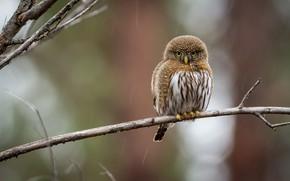 Картинка птица, круглый, ветка, сыч
