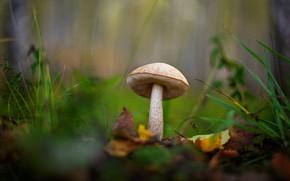 Картинка осень, трава, листья, гриб, боке, размытый фон, подберезовик