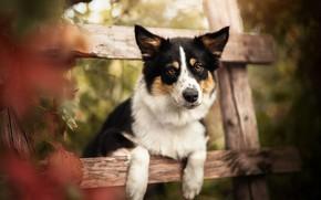 Картинка осень, взгляд, морда, собака, лапы, боке