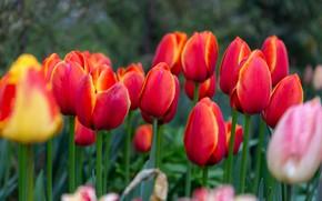 Картинка цветы, весна, тюльпаны, красные, бутоны, клумба, много