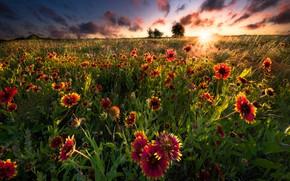 Картинка поле, лето, солнце, лучи, цветы, луг, гайлардия