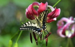 Картинка цветок, макро, бабочка, лилия, тычинки, красная, махаон