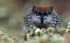 Картинка глаза, взгляд, макро, природа, фон, растение, пауки, портрет, лапки, паук, размытие, мордашка, размытый фон, мохнатые, …
