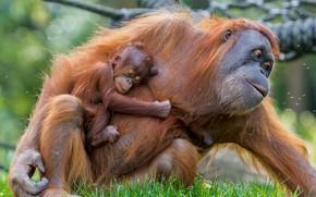 Картинка baby, mother, Orangutan