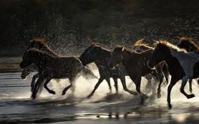 Картинка брызги, река, лошади, табун