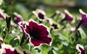 Картинка цветок, лето, петуния, зелень цветы