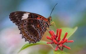 Картинка фон, бутончики, бабочка, крылышки, Fleur Walton, усики