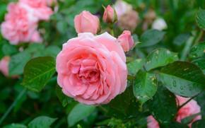 Картинка вода, капли, розовая, куст, розы, бутоны
