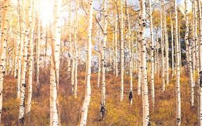 Обои осень, лес, берёзы
