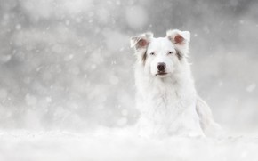 Картинка зима, взгляд, морда, снег, портрет, собака, белая, светлый фон, снегопад, боке