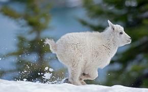 Картинка снег, овечка, руно, снежная овца