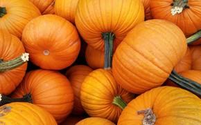 Картинка урожай, тыквы, тыква, оранжевые, много