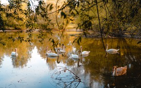 Картинка осень, птицы, белые, лебеди, водоем