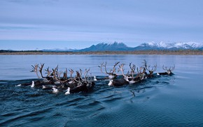 Картинка река, Аляска, северный олень, миграция