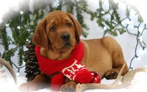Картинка фото, Собака, Взгляд, Щенок, Новый год, Лежит, Животные, Шарф, Лабрадор-ретривер