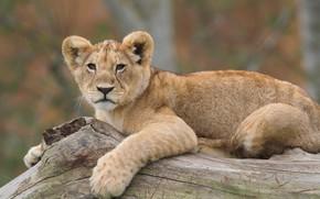 Картинка фото, хищник, лев, львёнок