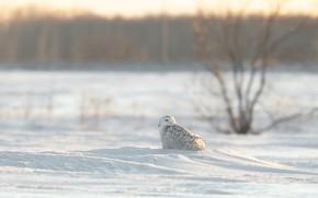 Картинка зима, снег, деревья, природа, сова, птица, полярная
