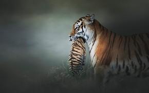 Картинка взгляд, морда, поза, темный фон, котенок, малыш, пара, дымка, профиль, тигры, забота, мама, тигрица, два, …